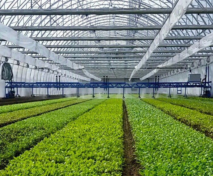 Image of crops growing in a greenhouse