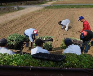 7 migrant workers harvest a field